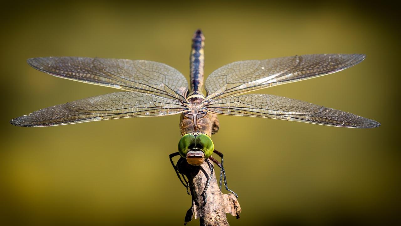 libélula insecto animal aéreo