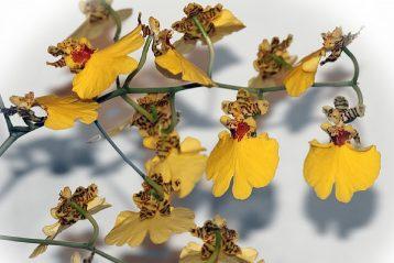 Cuidados orquídea interior
