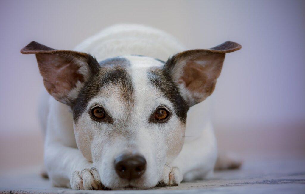 Visión en los perros
